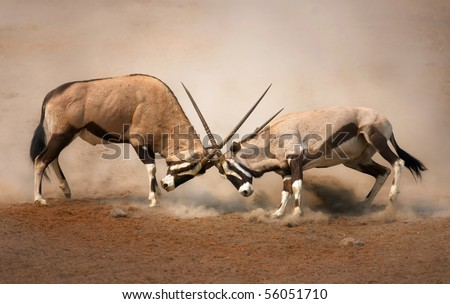 ?Intense fight between two male Gemsbok on dusty plains of Etosha - stock photo