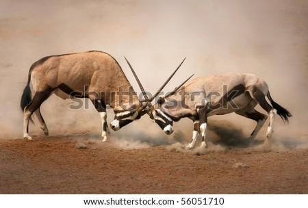 stock photo  intense fight between two male gemsbok on dusty plains of etosha 56051710 - Каталог — Фотообои «Животные»