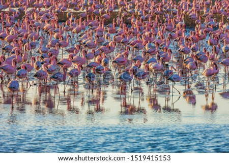 Interesting and useful birdwatching. Gorgeous pink birds feed in the shallow water of the Namibian resort. Pink sunset. Ecological, active, zoological and photo tourism concept