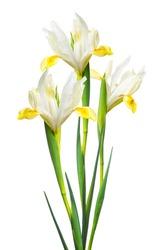 iris flower, isolated on white