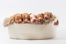 5 irish doodle puppys in basket
