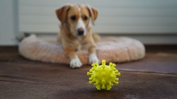 Is coronavirus transmitted by pets?