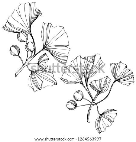 Isolated ginkgo illustration element. Leaf plant botanical garden floral foliage. Black and white engraved ink art on white background. #1264563997