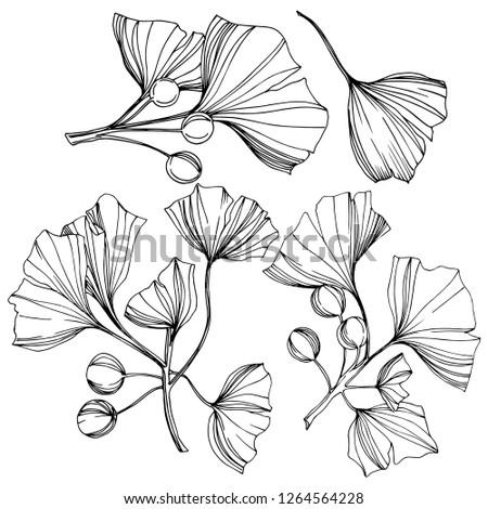 Isolated ginkgo illustration element. Leaf plant botanical garden floral foliage. Black and white engraved ink art on white background. #1264564228