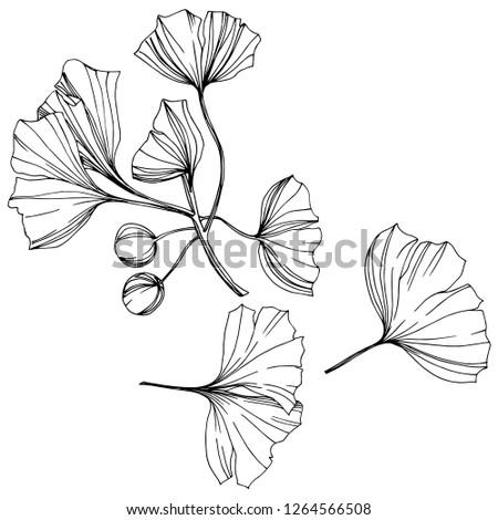 Isolated ginkgo illustration element. Leaf plant botanical garden floral foliage. Black and white engraved ink art on white background. #1264566508