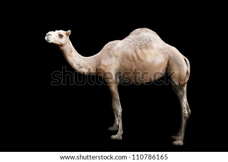 isolated single hump camel