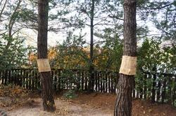 It is Korean Winer Pine Trees