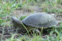 It's the close-up of a large wading turtle. A predatory animal is looking for prey. Curious the European marsh turtle pulled out the neck. Emys orbicularis has a durable shell.