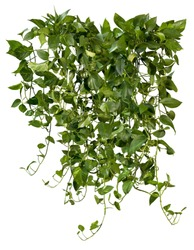 Ivy with lush green foliage. Climbing plant in summer isolated on white background. Tropical vegetation. High quality mask for professional composition.