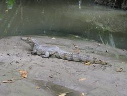 Jacaré-açu (Melanosuchus niger) Alligatoridae family  on the river bank Mamori. Amazonas, Brazil