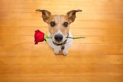 Jack russell dog in love on valentines day, rose in mouth, cool gesture, isolated on wood background