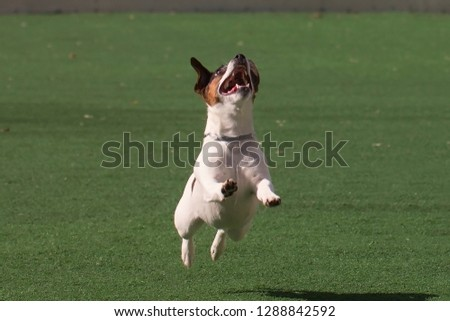 Jack Russell Terrier #1288842592