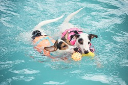 2 Jack russell terrier dogs are enjoying swimming and playing ball-fetching together in a dog swimming pool.