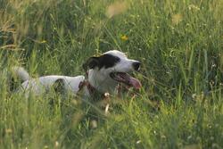 ๋Jackrussell dog play in grass