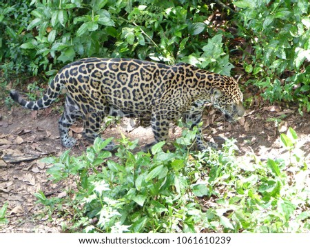 Jaguar (Panthera onca) Felidae family. Amazon rainforest, Brazil  #1061610239