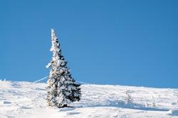 [21 JAN 2017 ; Vitosha, Bulgaria] Snow covered pine tree