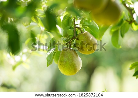 Japanese pear, La France Pear growing on a tree Photo stock ©