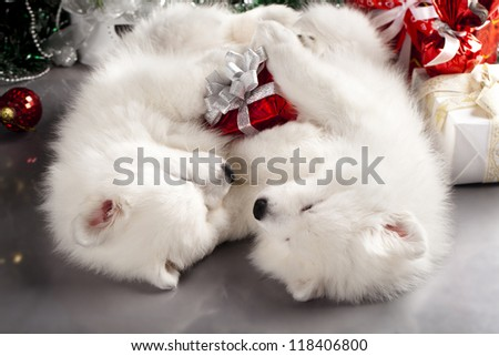 Japanese white spitz and New Year gift