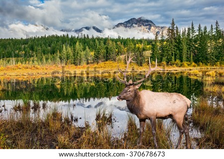 Jasper National Park in the Rocky Mountains. Proud deer antlered stands on the banks of the pretty lake. The lake reflects multi-colored autumn woods and mountains