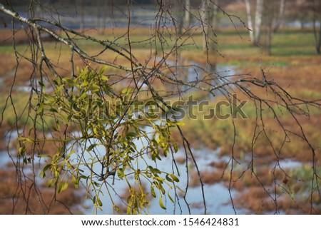 jemioła, bagno w Polsce, Białowieża, Polska, rozlewisko, trawy, łąka, listopad, jesień Zdjęcia stock ©
