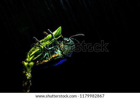 ่Jewel beetle Metallic wood-boring beetle Buprestid