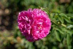 'John Cabot' Rose flowers in field. Scientific name: Rosa 'John Cabot'