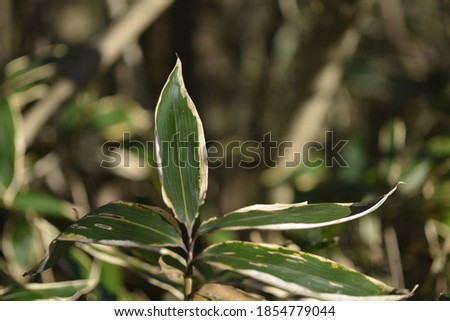 'Joritdae'(Sasa borealis (Hackel) Makino) is a small bamboo tree. It is a small bamboo that belongs to the Sasa group of bamboo species. Another name in Korea is 'Sandae'. Stock fotó ©