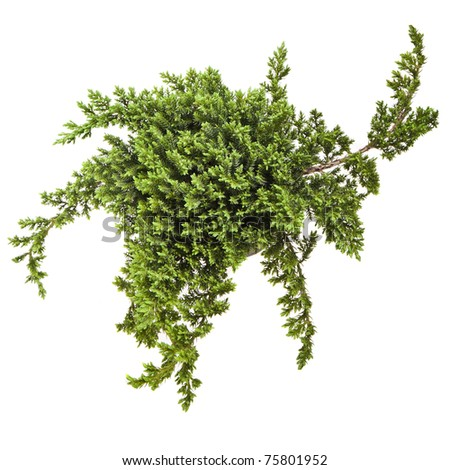 juniper (Juniperus)  tree isolated on a white