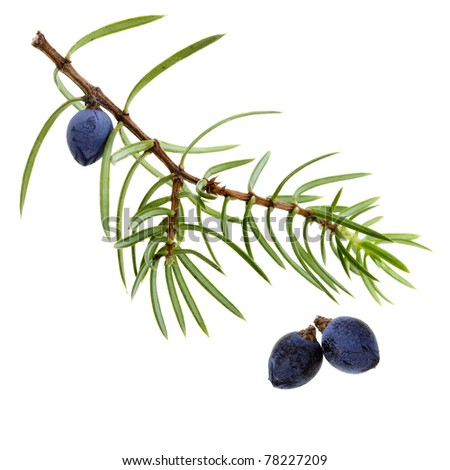 juniper twig with berries ( juniperus communis) close up macro icon  isolated on white