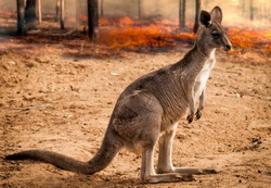 kangaroo  Baby from australia saved during the forest fire 2020