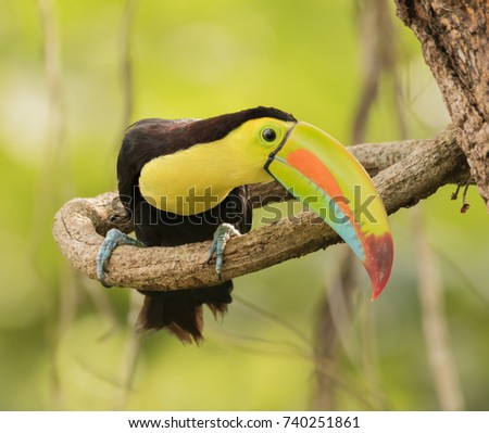 Keel-billed Toucan, Ramphastos sulfuratus. Panama. Its bizarrely patterned green, orange, red, and blue bill is diagnostic.  It feeds on fruit, but also consumes arthropods and small vertebrates.