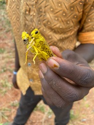 2020-02-14 Kiaruni, Kenya. A man shows two mature desert locust, part of a swarm which destroyed the crop in his village