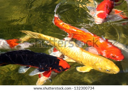 4 koi fish on the surface multi colored koi fish swim on for Surface fish ponds