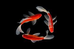 Koi fish Three red