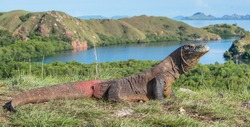Komodo dragon ( Varanus komodoensis ) is the biggest living lizard in the world.  On island Rinca. Indonesia.