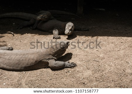 2 Komodo Dragons facing each other at Komodo National Park, Loh Buaya, Rinca Island, Labuan Bajo, Flores, Indonesia #1107158777