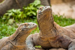 Komodo dragons (Varanus komodoensis) the biggest living lizard in the world from Komodo Island, East Nusa Tenggara, Indonesia.