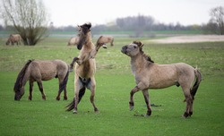 Konik stallions rearing up during a fight