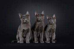 3 Korat cat kittens sitting on a row. Looking at camera with yellow (green developping) eyes. Isolated on black background.