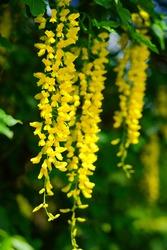 Laburnum anagyroides -  golden small decorative tree