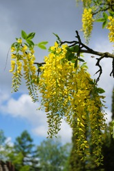 Laburnum anagyroides - small decorative tree