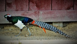 Lady Amherst's pheasant is a bird of the order Galliformes and the family Phasianidae.