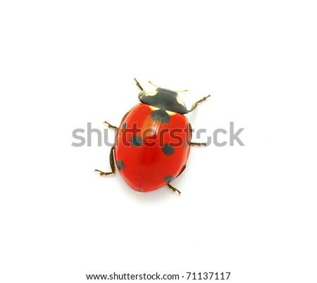 Ladybug on the white