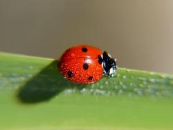 Ladybug with dew drops on the back. Macro shot.