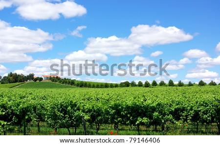 Landscape of portuguese  vineyard.