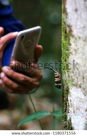 Lantern fly or Pyrops candelaria on tree witn hand using phone to take pictures of insect.