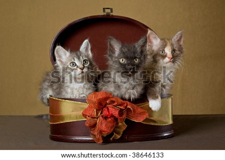 3 LaPerm kittens in brown round gift box