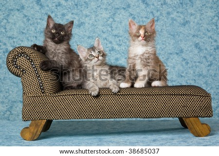 3 LaPerm kittens on miniature couch sofa