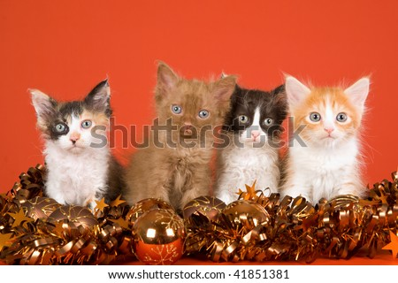4 LaPerm kittens on orange background with Christmas decorations