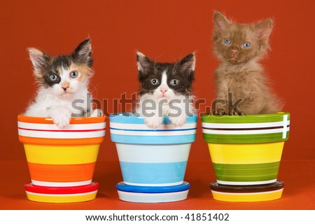 3 LaPerm kittens with colorful pots on orange background